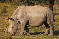 young white rhinoceros, Marakele NP, South Africa