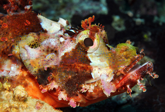Close-up of a Bearded Scorpionfish