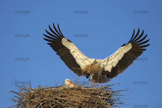 White storks on her nest, Germany