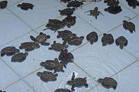 ca. 1 Monat alte Oliv - Bastardschildkröten ( Lepidochelys oliva