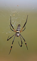 orb-weaver spider, south africa, wildlife