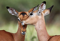 Impalas in love in South Africa