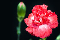 Close shot of carnation over dark background