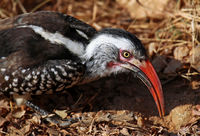 southern red-billed hornbill, south africa