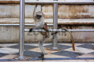 Baby Gray langur playing at the temple, Pushkar, India