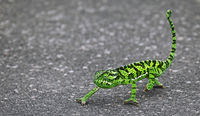 chameleon on the street in Kruger National Park