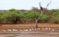yellow-billed storks, south africa