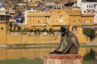 Gray langur sitting near Bundi old town, India
