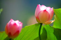 Two blooming lotus flowers under the sunlight