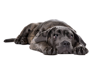 grey cane corso puppy dog