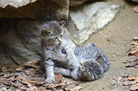 Wildkatze (Felis silvestris), Jungtiere spielen, captive,  Bayer