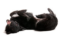 Portrait of black dog on studio white background