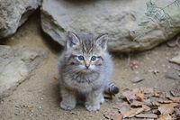 Wildkatze (Felis silvestris), Jungtier, captive,  Bayern, Deutsc