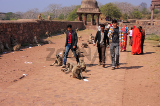 Local people walking around Ranthambore Fort amongst gray langurs, India
