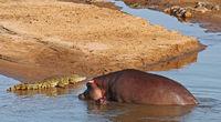 hippos meets crocodile in Kruger National Park