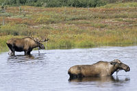 Bull and Cow Moose standing in a tundra lake