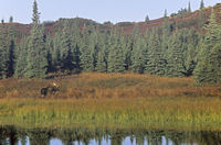 Bull Moose standing next to a pond in the tundra