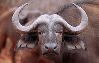 African buffalo, Kruger National Park