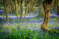 a carpet of bluebells in a forest