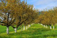 Wachau Marillenbaeume - Wachau apricot trees 04