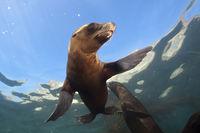 Kalifornischer Seeloewe, San Benito Island