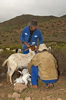 Nama goat herders letting Boer goatlings suckle