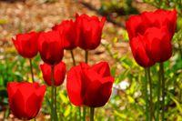 Tulpe rot - tulip red 28