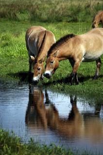 Przewalski Pferde