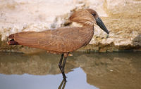 Hamerkop, South Africa, Scopus umbretta