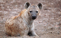 hyena, south africa, wildlife, Crocuta crocuta