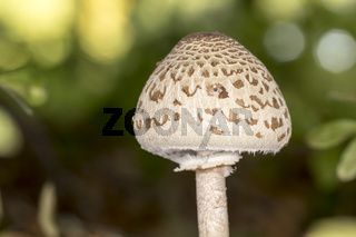 Riesenschirmpilz, Parasol (Macrolepiota procera)