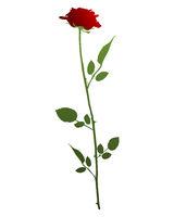 Rose - Red Rose