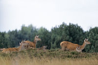 Red Deer hinds and calfs standing on a hill heath