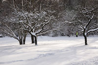 Snowy fruit trees