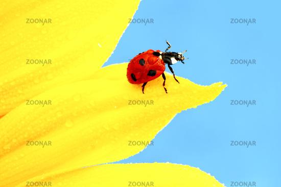 ladybug on sunflower ladybug on sunflower