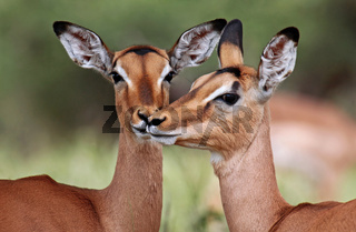 Liebevolle Impalas im Kruger Nationalpark, Südafrika, Schwarzfersenantilopen, Impalas in love in South Africa, Aepyceros melampus