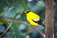 Black-naped Oriole of Eastern Asia