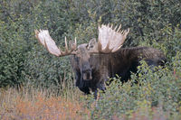 Bull Moose standing in the tundra - (Alaska Moose)