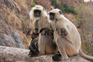 Gray langurs (Semnopithecus dussumieri) with a baby sitting at Ranthambore Fort, India