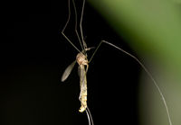 Neotropical  Crane fly