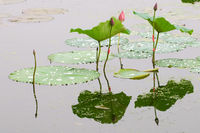 Lotus flower and bud with green leaf over water