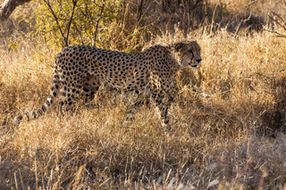 A male cheetah in the Kruger National Park