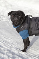 pug with sweater and coat in winter