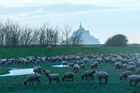 Mont Saint-Michel and sheep flock .