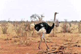 Afrikanischer Strauß