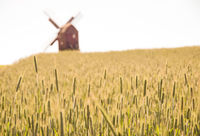 Grain fields and windmill