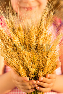 Yellow wheat ears in hands