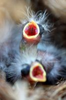 Close up of two baby birds in a nest.