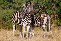 Two zebras, Kruger National Park, South Africa