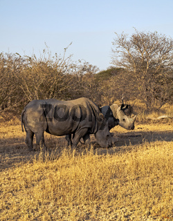 White Rhinos in their natural environment